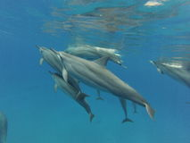Wild dolphins. Wild pod of dolphins swimming off the coast of Oahu Royalty Free Stock Images