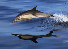Wild Dolphins Reflection. A short beaked common dolphin jumps in the Pacific Ocean near San Diego Royalty Free Stock Image