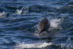 Wild Dolphins At Sea. Wild pacific dolphins jumping waves made by boat at sea Stock Photos