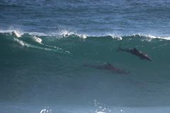 Wild Dolphins in Wave Stock Image