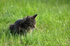 Wild Domestic Cat at hunting mice Stock Photo