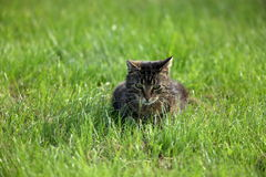 Wild Domestic Cat at hunting mice Stock Photos