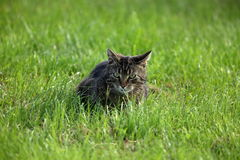 Wild Domestic Cat at hunting mice Royalty Free Stock Photography