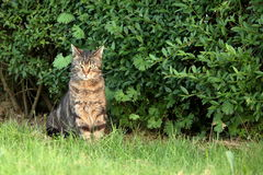 Wild Domestic Cat at hunting mice Royalty Free Stock Photo