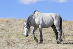 Wild dominant stallion on the prairie Stock Photo