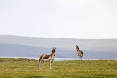 Wild Donkey stock photography
