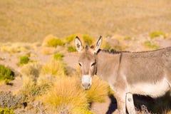 Wild donkey at the Altiplano Stock Photography