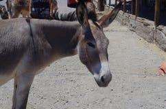Wild Donkey. In Arizona, US Royalty Free Stock Images