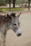 Wild Donkey in the Aruban Donkey Sanctuary Royalty Free Stock Photography