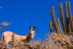Wild donkey Royalty Free Stock Photos