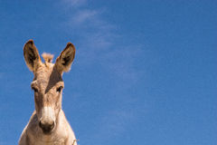 Wild donkey. On the desert in mexico Stock Images