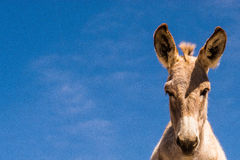 Wild donkey Royalty Free Stock Photography