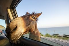 8faf919258c0 Wild donkey with his head in the car. Cute wild donkey putting his head  through