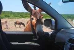 Wild donkey looking into a car window. Stock Images