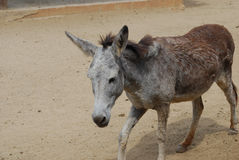 Wild Donkey in the Sanctuary in Aruba Stock Photo