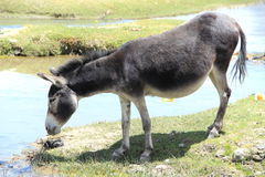 Wild Donkey. Royalty Free Stock Photography