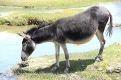 Wild Donkey. royalty free stock photography