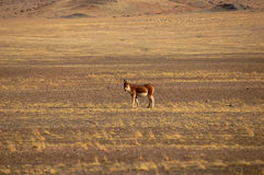 Wild donkey in Tibet Stock Photography