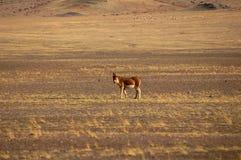 Wild donkey in Tibet stock photography