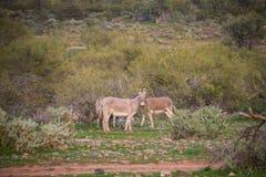 Wild donkeys of Arizona stock photos