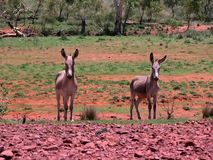 Wild Donkeys in Australia are now classed as vermin. stock photography