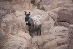 Wild Donkeys in stone desert. Royalty Free Stock Image