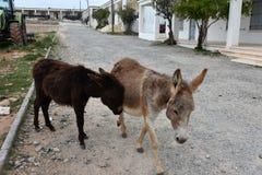 Wild donkeys Royalty Free Stock Photography