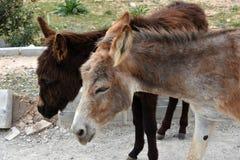Wild donkeys Royalty Free Stock Image