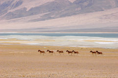 Wild donkeys in Tibet Royalty Free Stock Photography