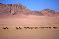 Wild donkeys in Tibet Royalty Free Stock Image