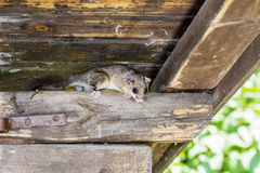 Wild dormouse. On a wooden beam Stock Photo