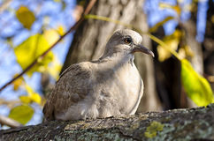 Wild dove Stock Photo