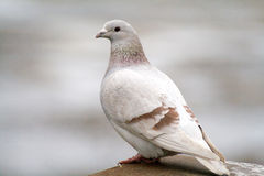Wild dove. Beautiful wild dove concerned when taking photos royalty free stock image