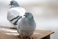 Wild dove. Beautiful wild dove concerned when taking photos royalty free stock photo