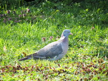 Wild dove Stock Image