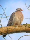 Wild dove Stock Photography