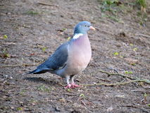 Wild dove Royalty Free Stock Image