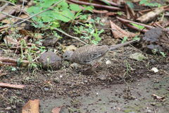 Wild dove in Costa Rica Royalty Free Stock Photos