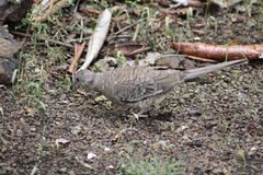 Wild dove in Costa Rica Royalty Free Stock Images