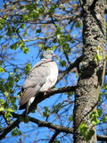 Wild dove Stock Photography