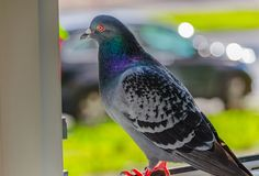 Wild dove on the open window of a residential building. Closeup photo on blurred background royalty free stock photo