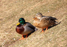 Wild drake and duck Royalty Free Stock Image