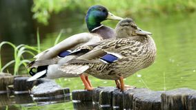 Wild drake and duck. A family pair of wild drake and duck stand on the shore of the lake close-up stock photography