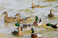 Wild drake and ducks sailing along the river Stock Photos