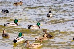 Wild drake and ducks sailing along the river Stock Photo