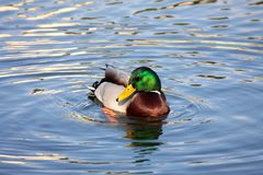 Wild drake on water. In the sunny spring afternoon Royalty Free Stock Photo