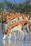 wild dricka springbok Royaltyfria Foton