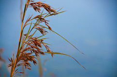 Wild dried nature tall grass Stock Images
