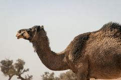 Wild Dromedary in the Moroccan desert stock image