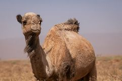 Wild Dromedary in the Moroccan desert. Portrait of hairy dromedary in the moroccan green desert with blue dusty sky in the backround stock photos